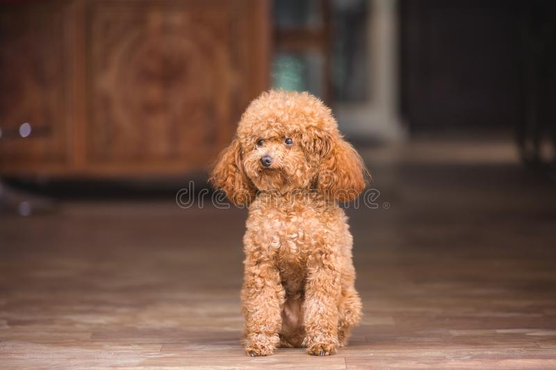 Cute toy poodle standing inside house stock photos