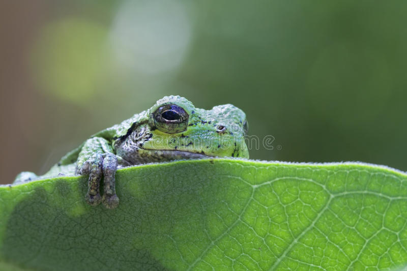 Cute Tree Frog. While out for a walk I came upon this cute little tree frog on a leaf seemingly playing peek a boo royalty free stock photo