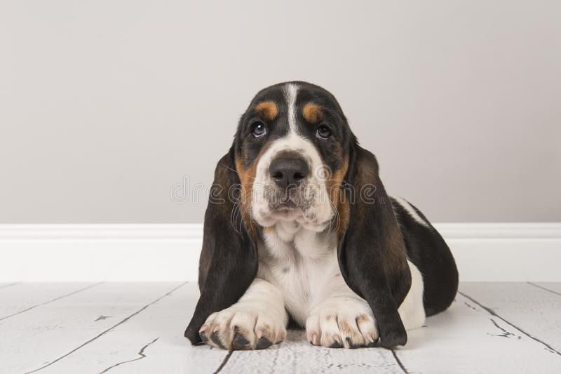 Cute tricolor basset hound puppy lying down looking at the camera in a gray living room setting royalty free stock photo
