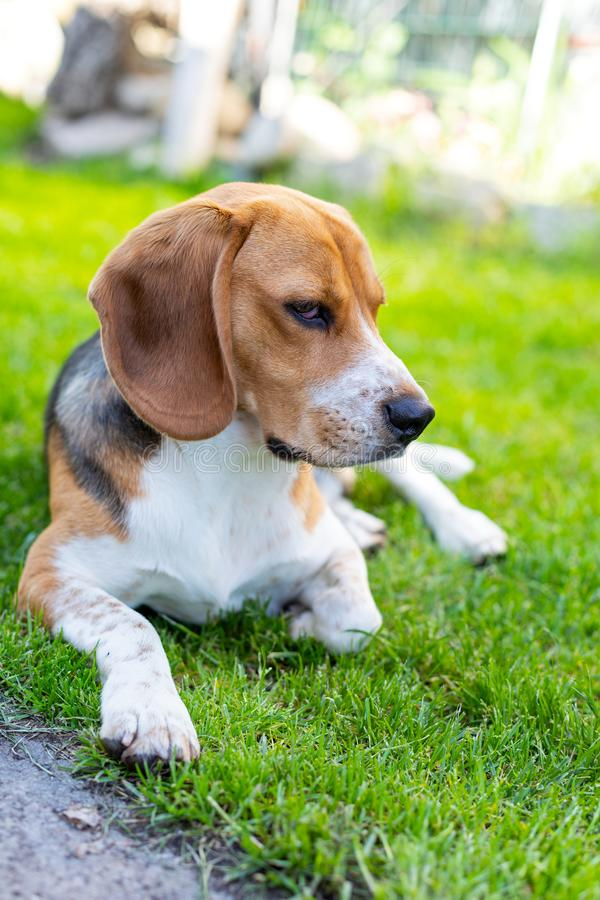 Cute tricolor beagle puppy royalty free stock images