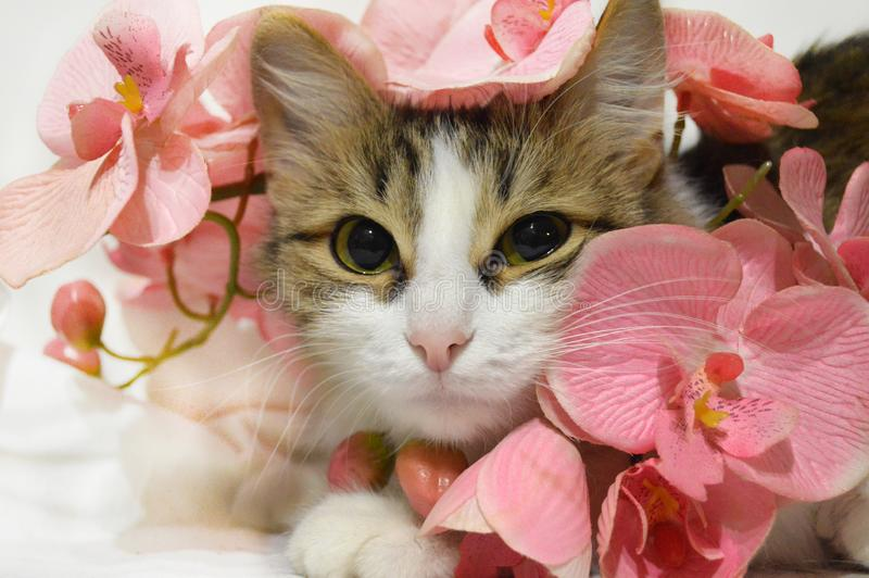 Cute tricolor kitty in pink flowers close-up royalty free stock photo