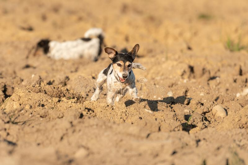 Cute tricolor purebred Jack Russell Terrier dog runs over a field and has a lot of fun doing it. Three-color purebred Jack Russell Terrier dog runs over a field royalty free stock photos