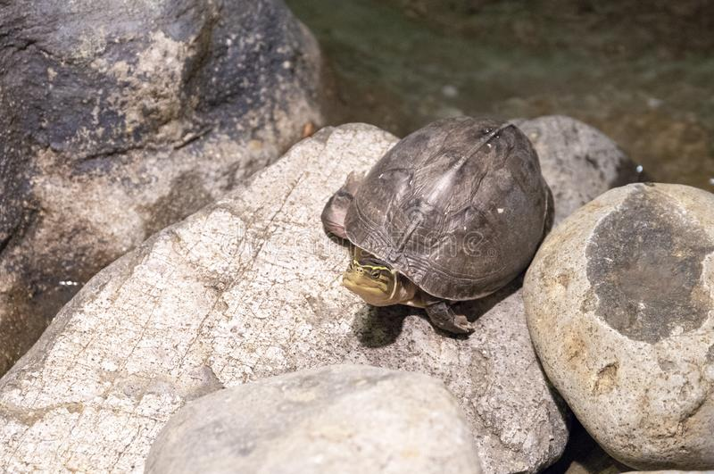 Cute turtle on round stone near the pond. Land turtle with yellow stripes on head. Amboina box turtle. Friendly reptile as domestic animal. Care and feeding of stock images