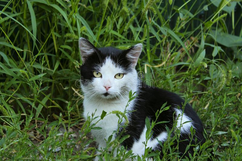 Cute tuxedo cat sitting outdoors. Black and white cat outdoor. Cat sitting in grass. stock image