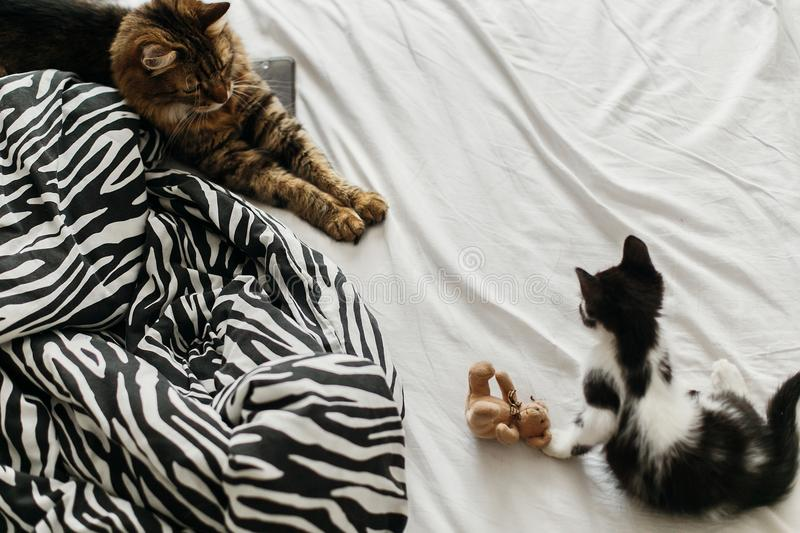 Cute two cats playing on bed in morning light, top view. adorable black and white kitten and tabby maine coon with funny emotions. Playing on blanket. cozy home stock photography