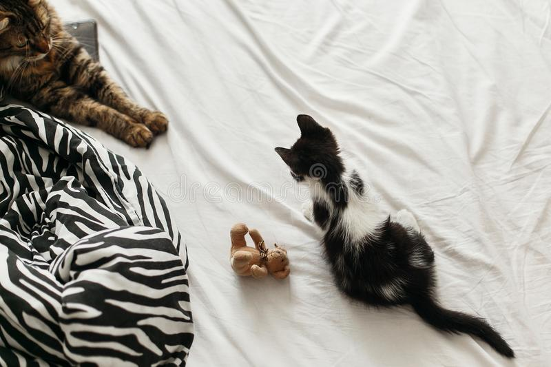 Cute two cats playing on bed in morning light, top view. adorable black and white kitten and tabby maine coon with funny emotions. Playing on blanket. cozy home royalty free stock image
