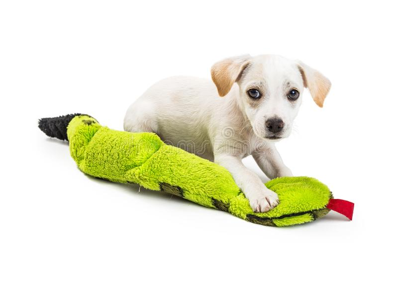 Cute White Puppy With Toy. Cute two month old puppy playing with green squeeky snake toy stock photo