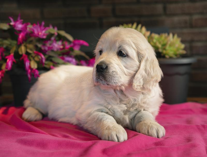 Cute two months golden retriever puppy lying down portrait in a pink blanket stock photo