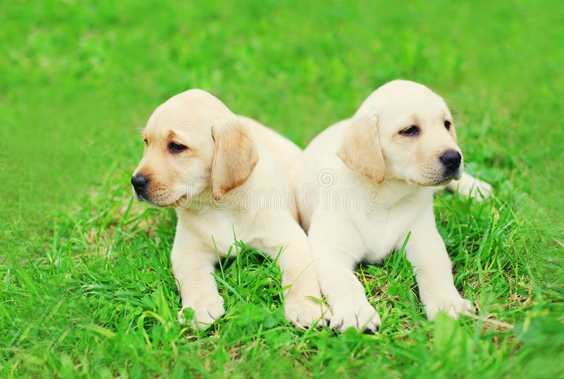 Cute two puppies dogs Labrador Retriever lying on grass royalty free stock photos