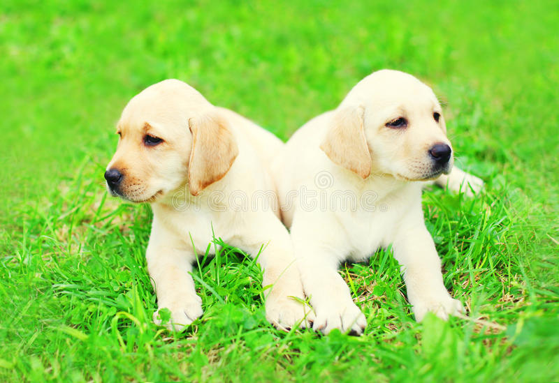 Cute two puppies dogs Labrador Retriever are lying together on grass stock photo