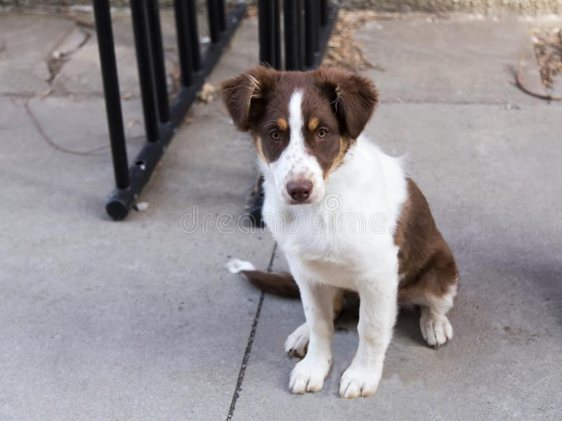Cute unleashed red Australian Shepherd puppy with copper and white trim. Sitting on sidewalk staring intently through pale brown eyes royalty free stock photos