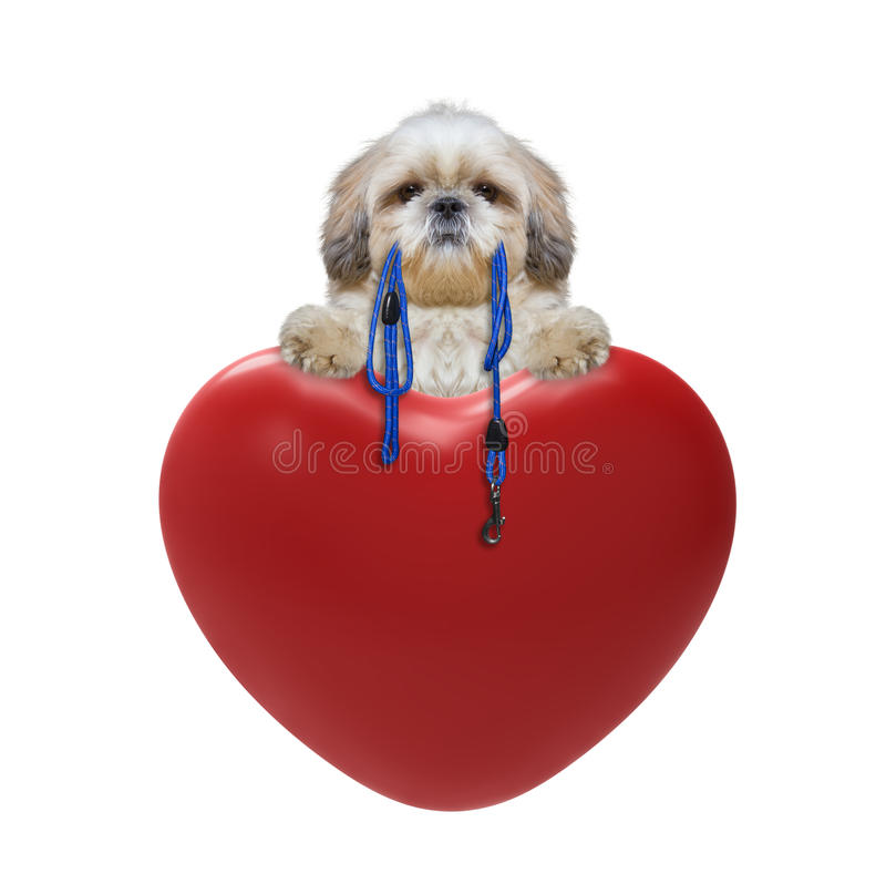Cute Valentines dog. Isolated on white stock images