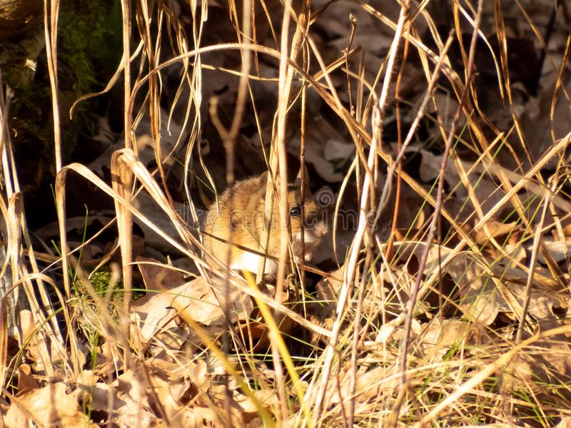 A cute vole siting in the dry grass and dry leaves on a sunny day on golden hour in autumn. Camouflage. View from the side stock photo