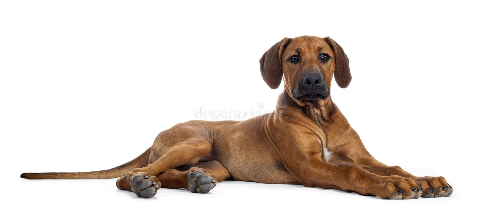 Sweet Rhodesian Ridgeback puppy on white. Cute weaten Rhodesian Ridgeback puppy laying down side ways. Head up, looking beside lens with sweet eyes and inoocent stock photos