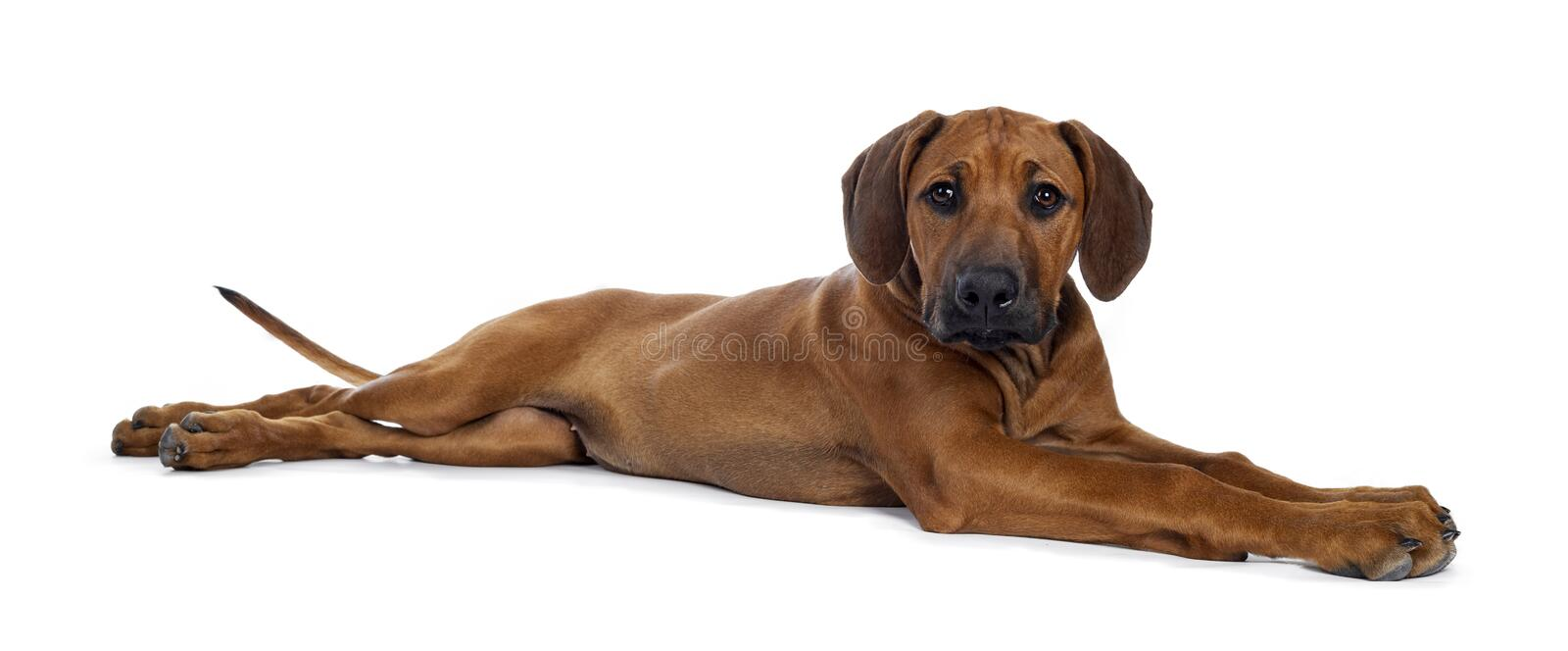 Sweet Rhodesian Ridgeback puppy on white. Cute weaten Rhodesian Ridgeback puppy laying down side ways. Looking to lens with sweet eyes and inoocent face royalty free stock photos