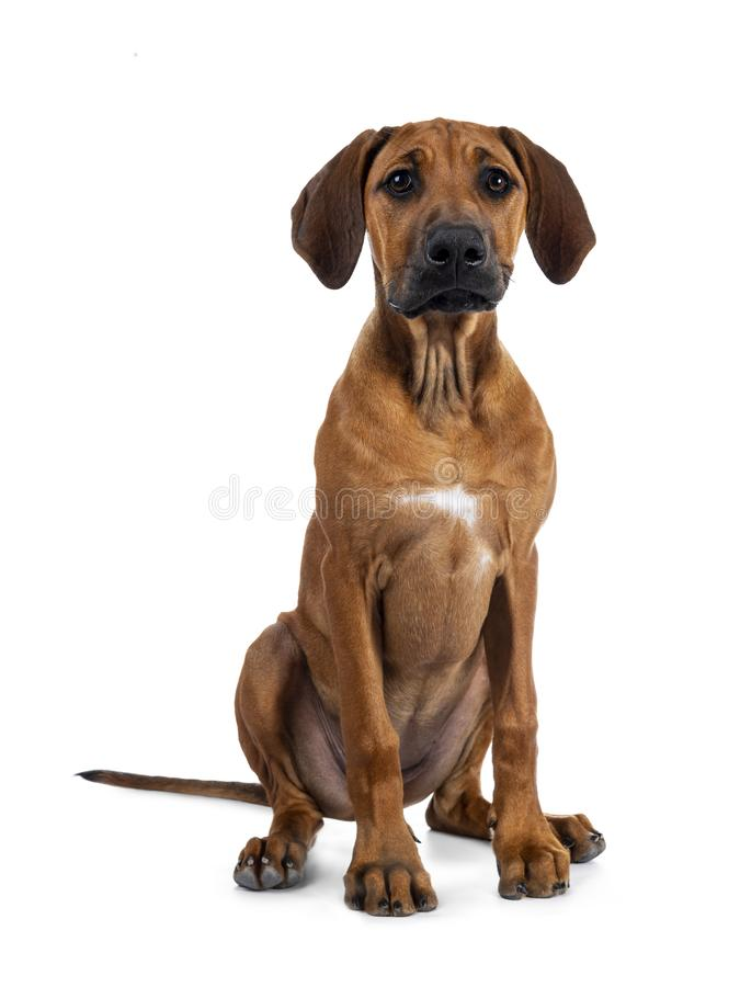 Sweet Rhodesian Ridgeback puppy on white. Cute weaten Rhodesian Ridgeback puppy sitting up facing front. Looking to lens with sweet eyes and inoocent face royalty free stock photos