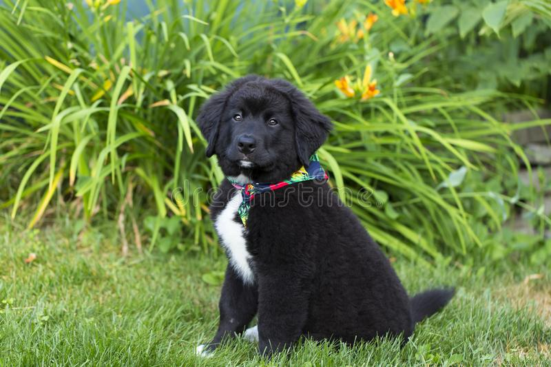 Cute 12-week old black and white Labernese puppy sitting in garden looking up stock image