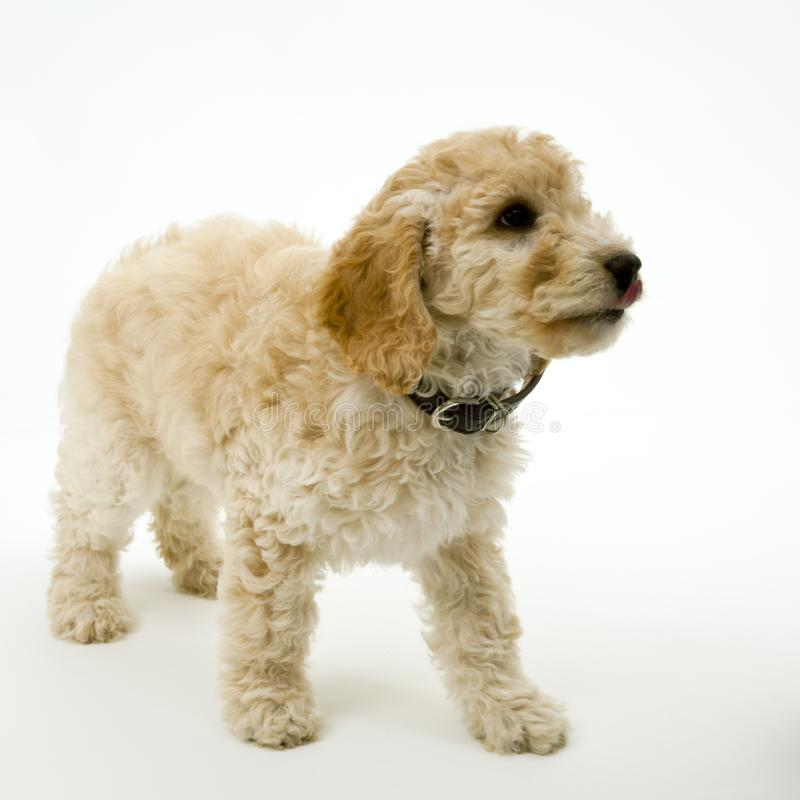 A cute Cockapoo puppy on a white background. A cute 12 week old Cockapoo puppy bitch on a white background royalty free stock image