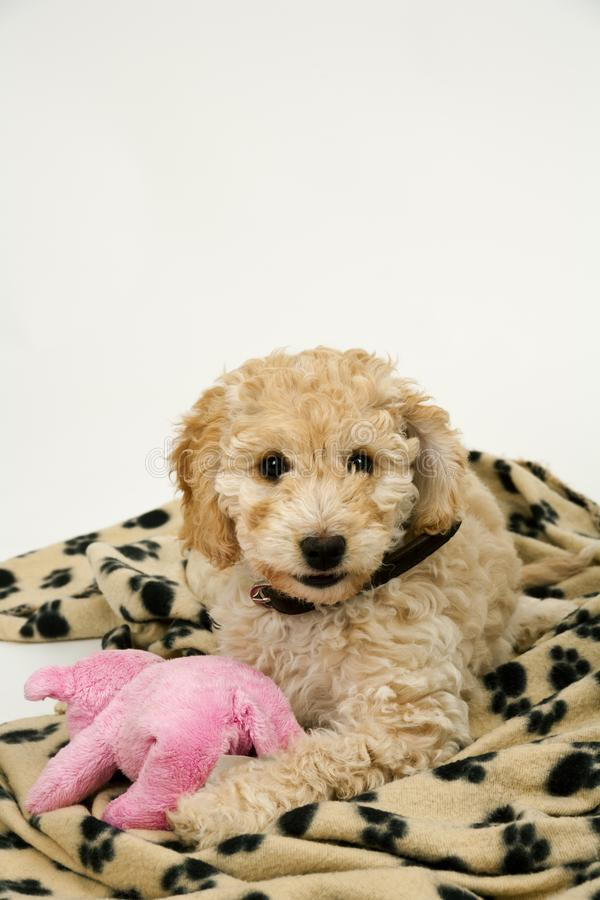 A cute Cockapoo puppy on a white background. A cute 12 week old Cockapoo puppy bitch on a white background lies on her blanket with a toy stock image