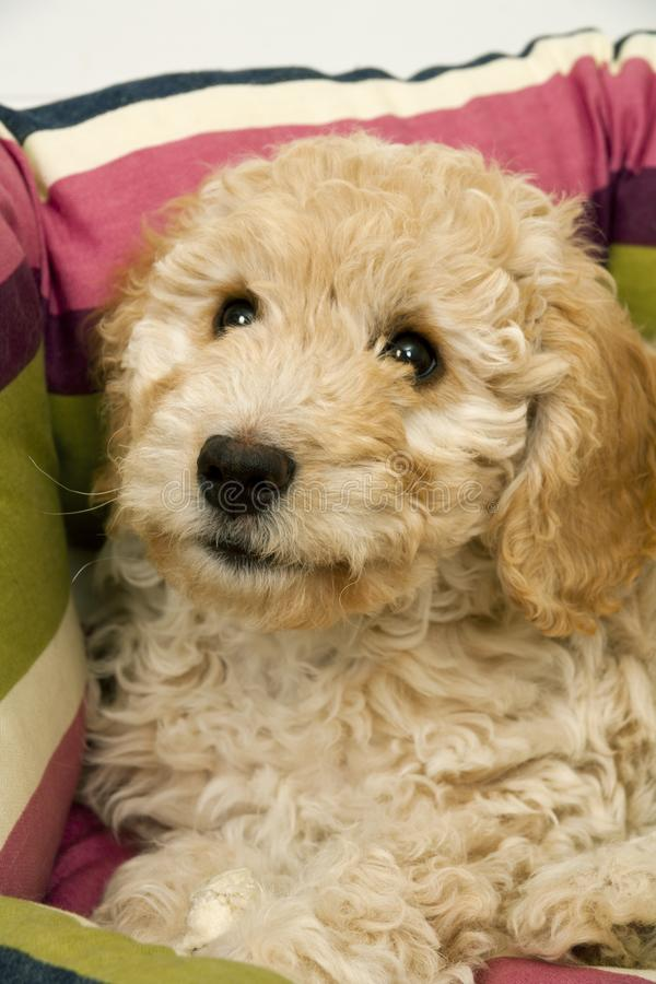 A cute Cockapoo puppy in her new bed. A cute 12 week old Cockapoo puppy bitch on a white background lies in her new bed looking at the camera stock images