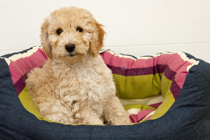 A cute Cockapoo puppy on a white background. A cute 12 week old Cockapoo puppy bitch on a white background sits in her new bed looking at the camera stock photos
