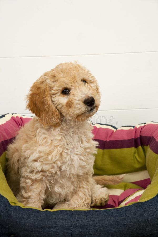 A cute Cockapoo puppy in her new bed. A cute 12 week old Cockapoo puppy bitch on a white background sits in her new bed looking puzzled royalty free stock photo