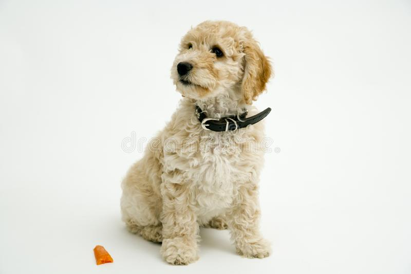 A cute Cockapoo puppy on a white background. A cute 12 week old Cockapoo puppy bitch on a white background sits obediently by a half chewed carrot stock photo