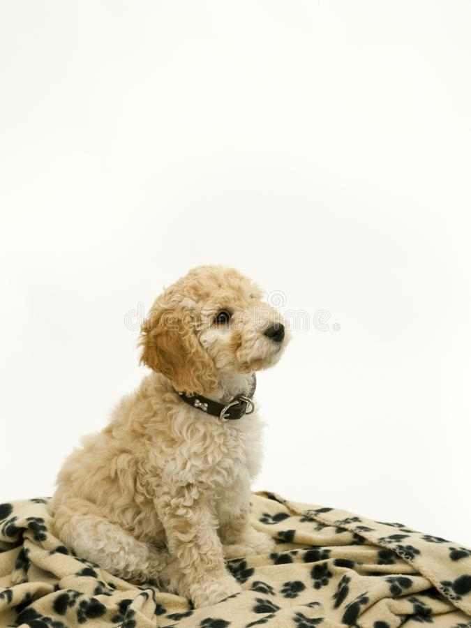A cute Cockapoo puppy on a white background. A cute 12 week old Cockapoo puppy bitch on a white background sits obediently on her blanket royalty free stock photos