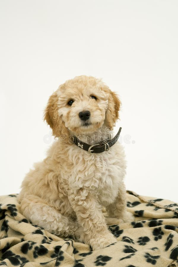 A cute Cockapoo puppy on a white background. A cute 12 week old Cockapoo puppy bitch on a white background sits obediently on her blanket stock photography