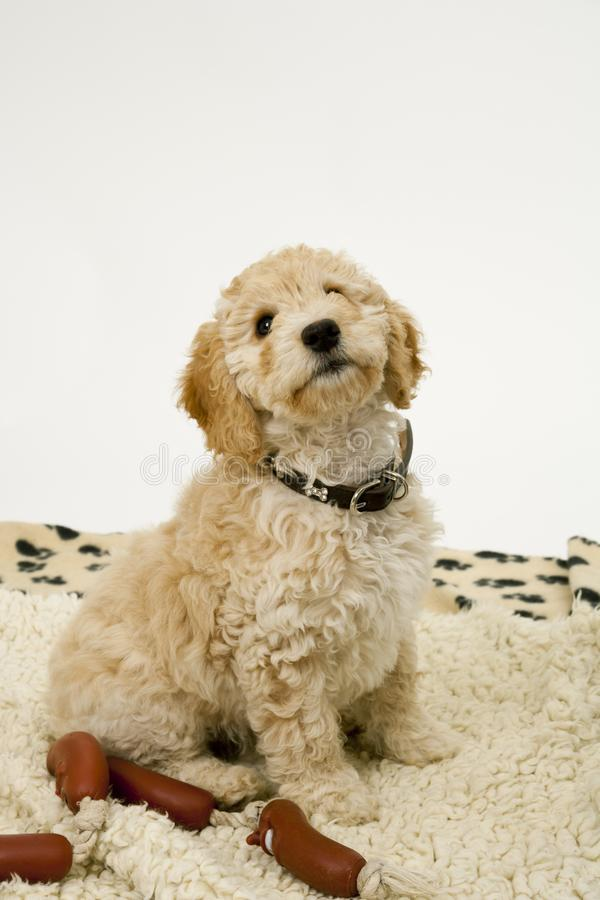 A cute Cockapoo puppy on a white background. A cute 12 week old Cockapoo puppy bitch on a white background sits obediently on her blanket by toy sausages royalty free stock image