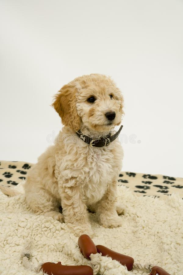 A cute Cockapoo puppy on a white background. A cute 12 week old Cockapoo puppy bitch on a white background sits obediently on her blanket by toy sausages royalty free stock photos