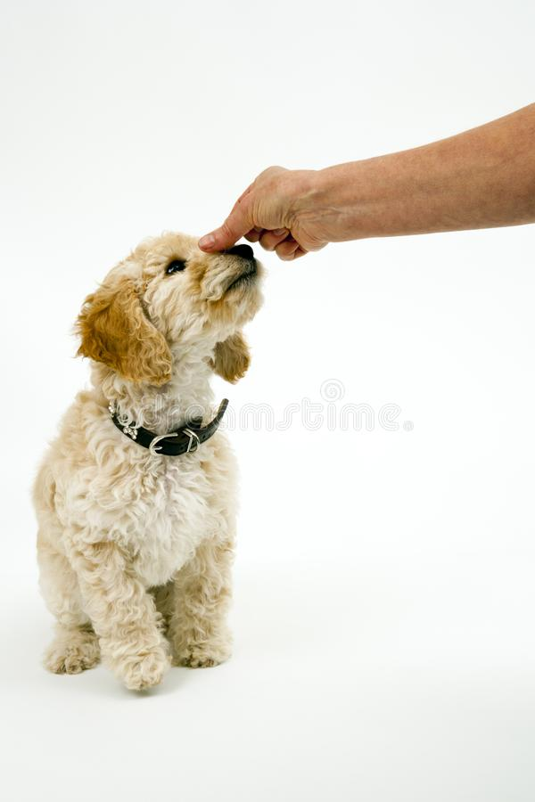 A cute Cockapoo puppy on a white background. A cute 12 week old Cockapoo puppy bitch on a white background sits obediently for a treat royalty free stock images