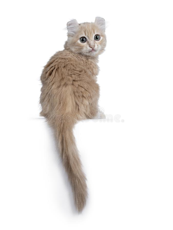 Cute 10 weeks old cream American Curl cat kitten, Isolated on white. Cute 10 weeks old cream American Curl cat kitten, sitting backwards with tail hanging down royalty free stock photo