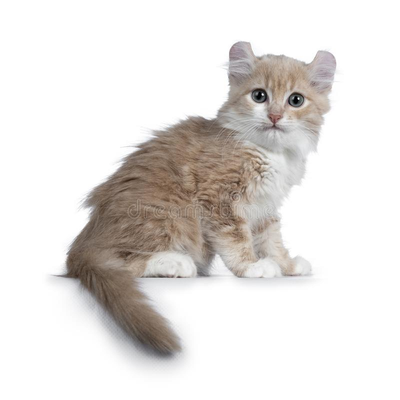Cute 10 weeks old cream American Curl cat kitten, Isolated on white. Cute 10 weeks old cream American Curl cat kitten, sitting side ways, tail around body royalty free stock images