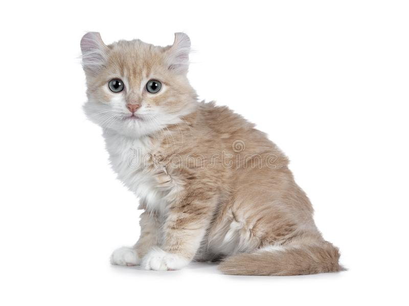 Cute 10 weeks old cream American Curl cat kitten, Isolated on white. Cute 10 weeks old cream with white American Curl cat kitten, sitting side ways, tail around stock image