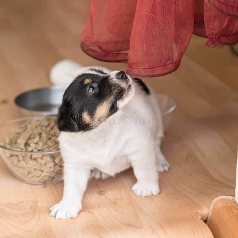 Cute 4 weeks old Jack Russell Terrier puppy dog is playing with the red  curtain. Next to the pup is a bowl of food. Cute four weeks old Jack Russell Terrier stock photos