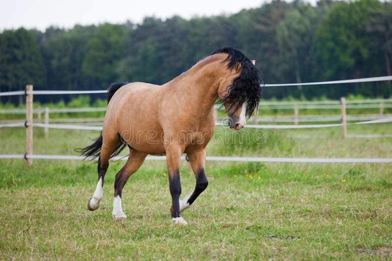 Cute Welsh Cob pony gallopping on the paddock. Cute Welsh Cob pony is gallopping on the field stock photography