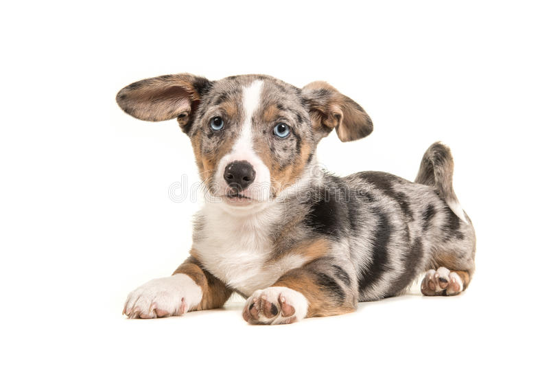 Cute welsh corgi puppy with blue eyes and hanging ears lying dow stock photos