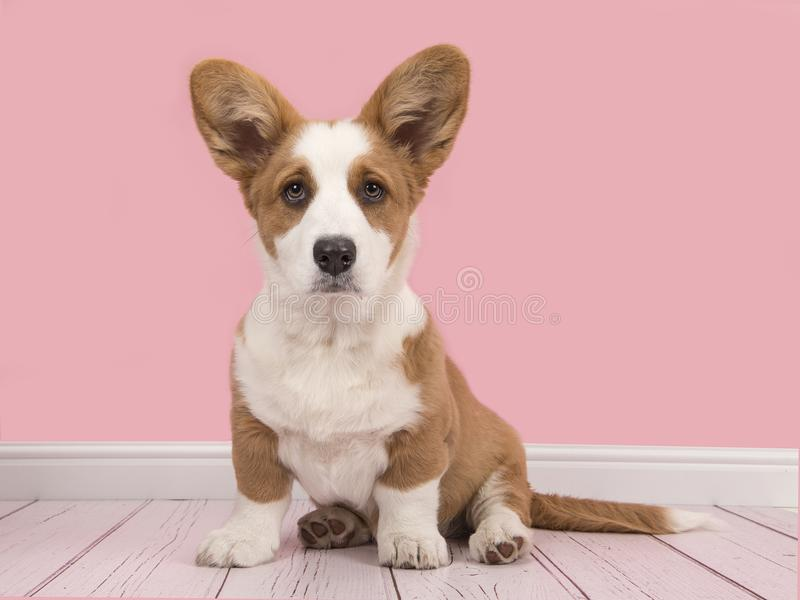 Cute Welsh Pembroke Corgi Puppy In A Pink Living Room Stock Photo ...