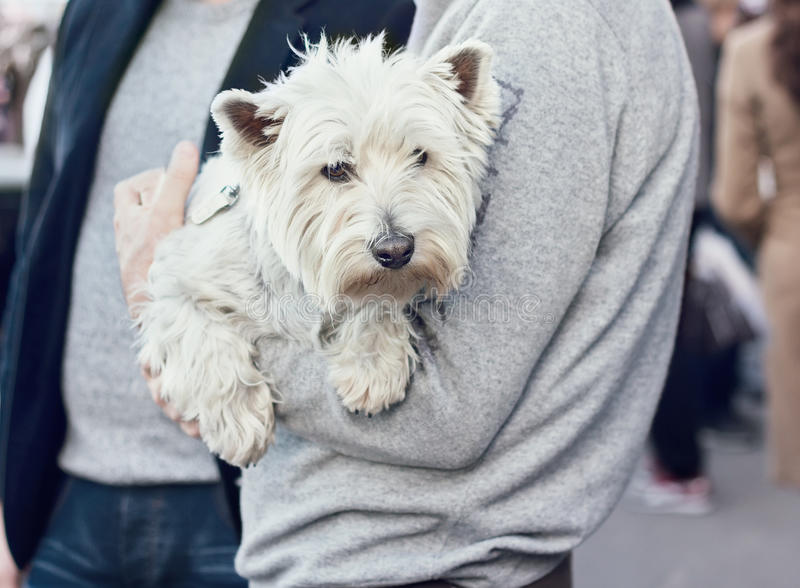 Cute West Highland White Terrier on hands of a man stock photography