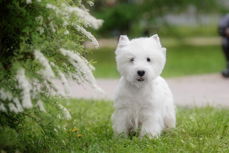 Cute West highland white Terrier in a lush Park. The pink trees royalty free stock photo