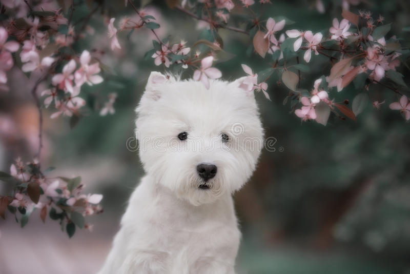 Cute West highland white Terrier in a lush Park. The pink trees stock image