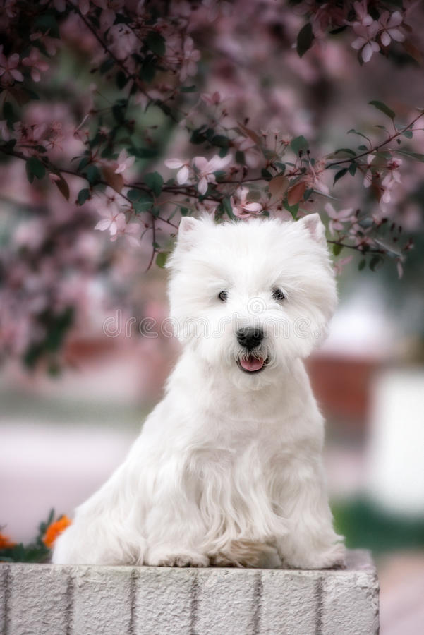 Cute West highland white Terrier in a lush Park. The pink trees royalty free stock photos