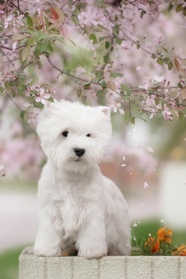 Cute West highland white Terrier in a lush Park. The pink trees royalty free stock photography
