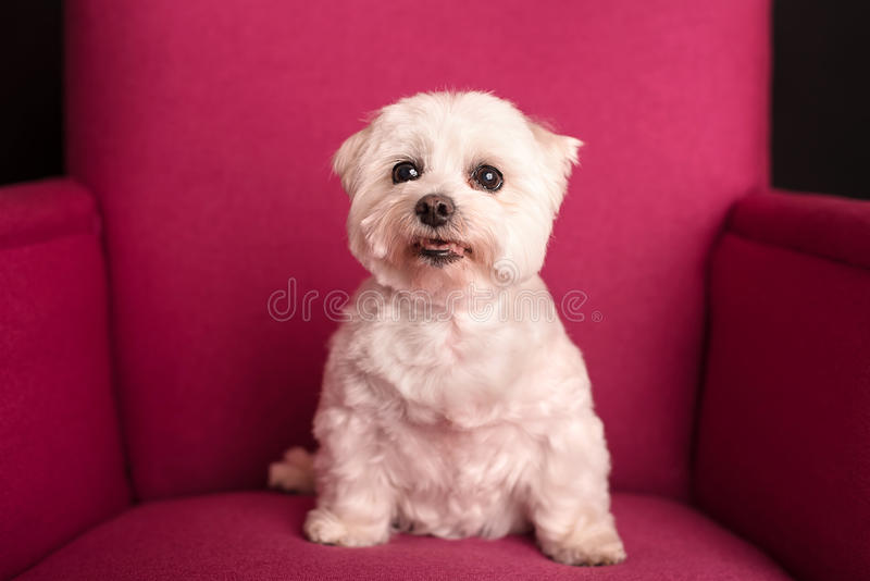 Cute West Highland White Terrier sitting on a pink armchairs stock images
