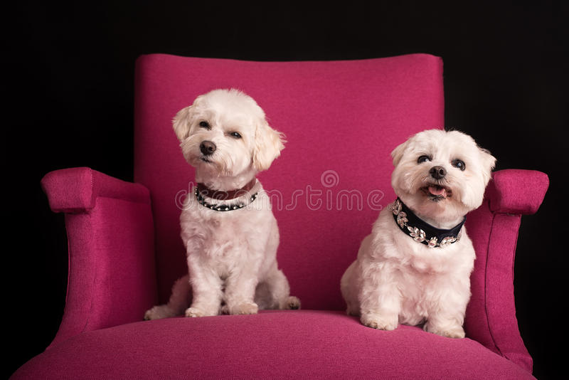 Cute West Highland White Terrier sitting on a pink armchairs stock photo