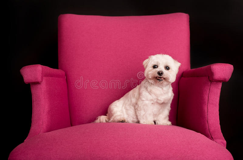 Cute West Highland White Terrier sitting on a pink armchairs. Closeup photo stock images