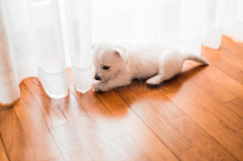 Cute west terrier puppy on the floor royalty free stock image
