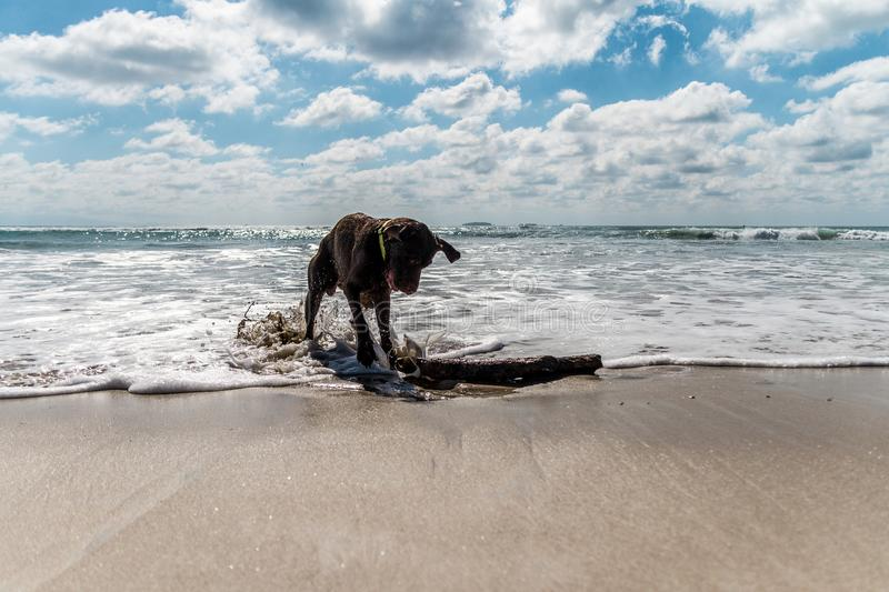 Cute wet brown labrador playing with a stick in a beach in mexico stock images