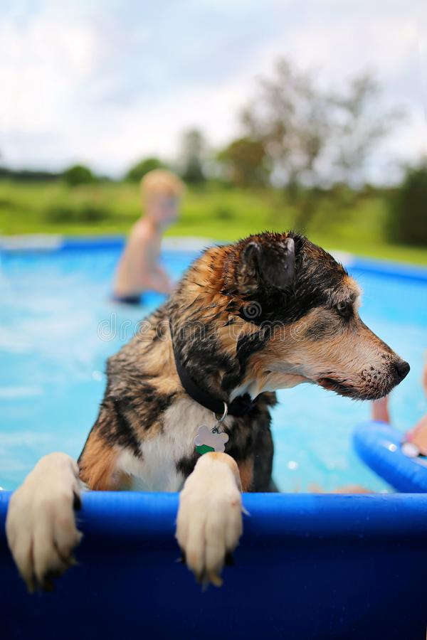 Cute Wet Dog Playing in Family Backyard Swimming Pool on Summer Day royalty free stock images